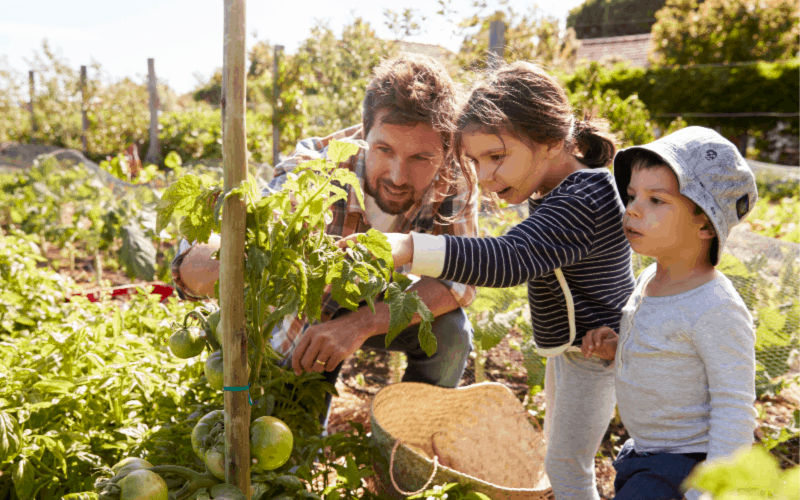 Summer activities for kids: image of dad and kids harvesting tomatoes